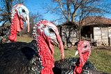 Domestic turkey closeup