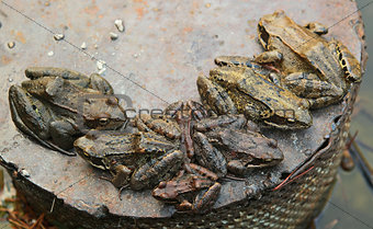 group of toads