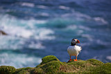 Puffin on a lookout