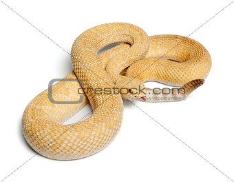 albinos western diamondback rattlesnake - Crotalus atrox, poison