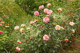 Rose and other flowers in flowerbed