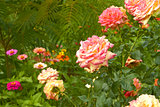 Roses in flowerbed close-up