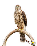 Falcon sitting on support