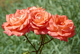 Three coral roses