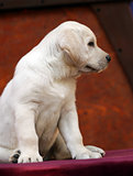 yellow labrador puppy in profile