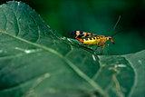Panorpidae on a green leaf