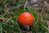 Amanita muscaria mushroom in moss