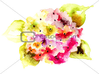 Beautiful Hydrangea flowers