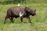 African buffalo with egrets