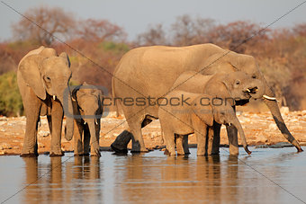 Elephants drinking water