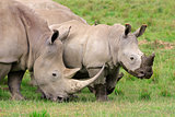 White rhinoceros feeding
