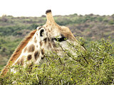 Giraffe eating an acacia tree