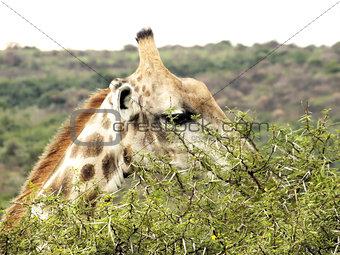 Giraffe eating an acacia tree