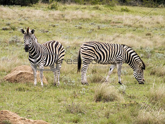 Pair of Zebra