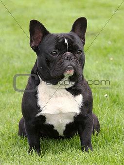 Black French Bulldog on a meadow