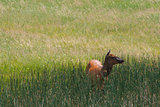 Mule deer on a morning pasture
