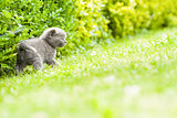 Young grey kitten lying in the garden on fresh green grass