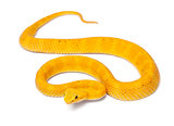 Yellow Eyelash Viper - Bothriechis schlegelii, poisonous, white