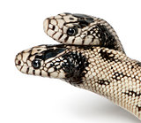 two headed eastern kingsnake - Lampropeltis getula californiae,