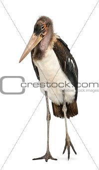 Portrait of Marabou Stork, Leptoptilos crumeniferus, 1 year old, standing in front of white background