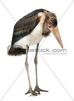 Marabou Stork, Leptoptilos crumeniferus, 1 year old, standing in front of white background