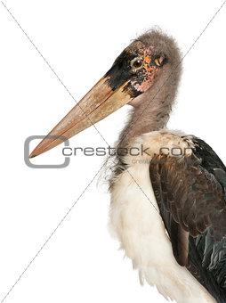 Portrait of Marabou Stork, Leptoptilos crumeniferus, 1 year old, in front of white background