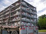 turkeys being transported