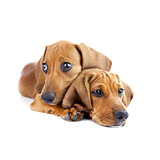 Dogs /  Two cute Dachshund Puppies / Isolated