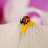 Ladybug on the blossom of a flower