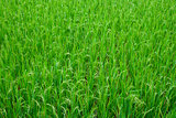 Green Grass Rice Field Texture