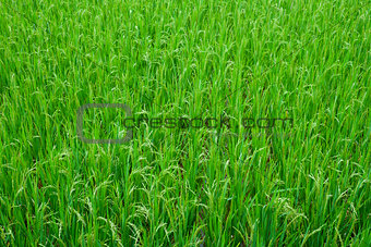 Green Grass Rice Field Texture