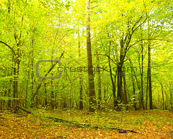 Green leaves of the forest in the first days of autumn