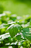 Raspberry leaves with drops of water after a summer rain, close-