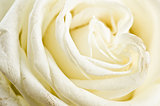 Petals of a white rose a close up