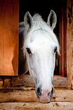 head white racehorse looks out of the window stall