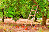 harvest on orange citrus trees in the garden and a staircase at the tree