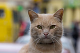 Red cat with green eyes sitting and looking