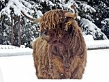 Scottish highland cattle in winter