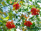 Bunches of rowan berries in autumn