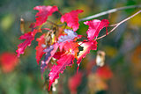 Branch of maple with red leaves in Autumn