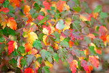Many colored autumn leaves