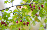 Red berry of hawthorn and green leaves in Autumn