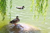 Two mallards in a lake
