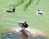 Three mallards in a lake