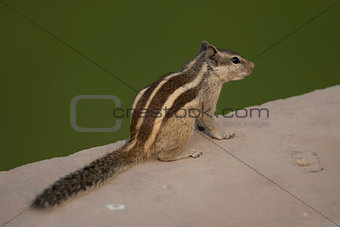 Northern Palm Squirrel