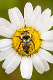 Closeup of a Bee Perfectly Centered on a Daisy Flower with water