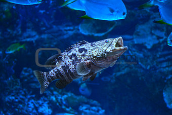 Camouflage grouper