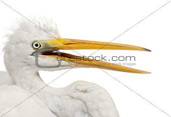 Close up of Great Egret or Great White Egret or Common Egret, Ardea alba in front of white background
