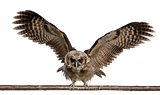 Portrait of Brown Wood Owl, Strix leptogrammica, flying in front
