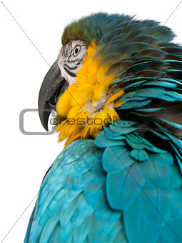 Close up of Blue and Yellow Macaw, Ara Ararauna, in front of white background